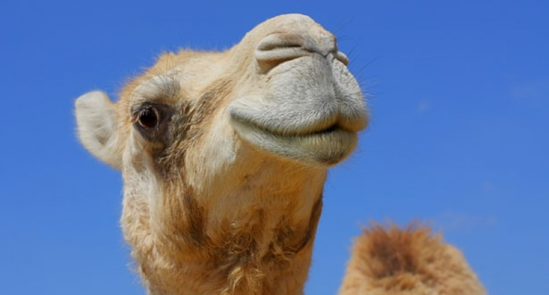 Camel Beauty Pageant Kicks Out 12 Animals for Botox